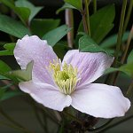 clematis in the garden