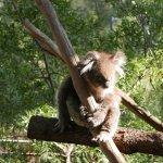 Koala is so cute
