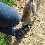 Lemur shoe licking!