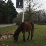 New Forest pony grazing at entrance to The Alice Lisle