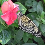 Beautiful large butterfly