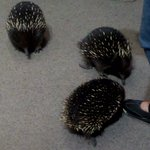 ECHIDNA RUNNIG AROUND.