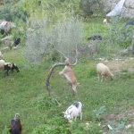 The goats and the Olive trees.