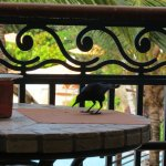 The bajan blackbird - having breakfast