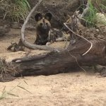 Wild Dogs lying in the shade in a river bed