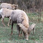 Big Horn sheep (taken from car)