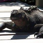 Iguanas en el sendero