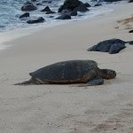 This is a sea turtle on Laniakea Beach at around 6pm. Tide is fairly high.