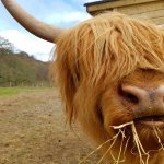 Happy Highland Cow