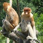 Foto de Labuk Bay Proboscis Monkey Sanctuary