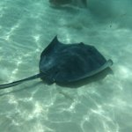 Sting rays floating by. Look how clear the water is