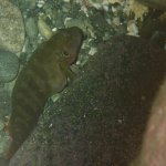 Hairy Blenny, after the big meal fit, turning its stripes on