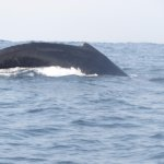 Humpback whale off the coast of Playa Zicatela, Puerto Escondido, Oaxaca