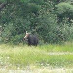 moose_large.jpg