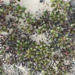 Trailing juniper and bearberry are common on the sandy dunes (a picture of each is here).