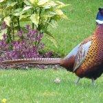 A Pheasant strutting in the garden