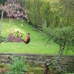 Pheasants often visit the garden