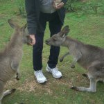 The 'roos are polite and friendly and not aggressive.