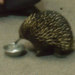 An echidna eating some yummy worms