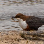 Dipper with it's lunch!