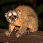 Resident Peruvian Night Monkey