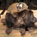 Monkeys that stick around the lodges