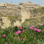 Flowers bloom in full color on the background of the ancient crusader fort, taken April 2017.