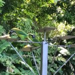 Breakfast with toucans