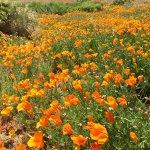 Foto de Antelope Valley California Poppy Reserve