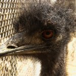 This emu pecked my lens just for the heck of it.