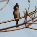 Himalayan Bulbul in the resort