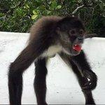 Monkey's love watermelon