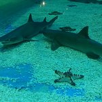 Blacktip sharks in the shark tank