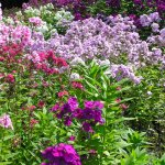 Some of the phlox colors