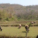 Water Buffaloes tending to the rice fields
