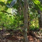Cinamon tree
