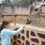 karmienie żyrafy