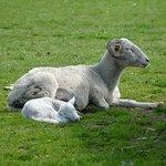 Lambs at the IOW Donkey Sanctuary.
