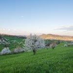 Um diese Kirschbäume zu sehen, muss man ein bisschen den Hügel rauf laufen