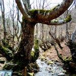 Fagus, la haya más antigua del bosque, tiene unos 500 años