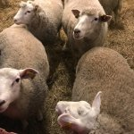 Lovely Lambs