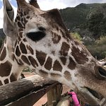 Up close with the Giraffes