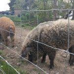 Woolly pigs!
