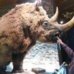 wooly rhino - he was sweet