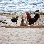 chickens, sand, & sea!