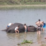 Washing elephants by the river