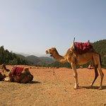 Beautiful camels