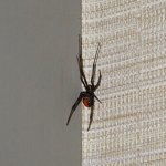 Redback spider in room!! In a suite with a view of a bus depot.
