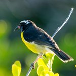 Bananaquit on the grounds of North Island Beach