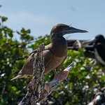 Brown Booby observed at the Magnificent Frigate Sanctuary